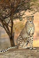 Afrikaanse cheetah foto