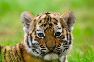 een Siberische tijgerwelp die op het gras ligt foto