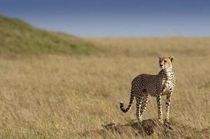 eenzame cheetah foto