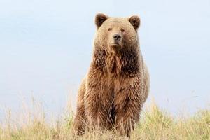 bruine beer in de natuur foto