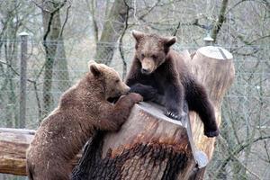 bruine beren playind, skansen park, stockholm, zweden foto