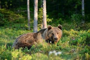 beer liggend in het bos foto