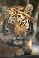 Siberische tijger foto