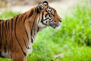 tijger (panthera tigris) foto