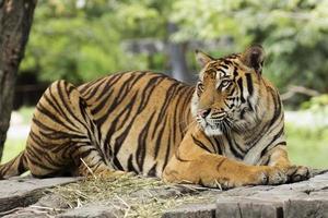 close-up Bengaalse tijger foto