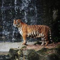 grote gestreepte tijger foto