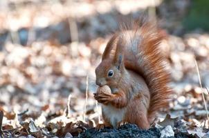 eekhoorn met noot. foto