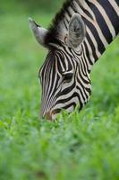 zebra voeden