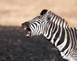 zebra vangt de grap