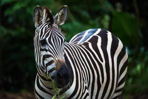 zebra eet gras foto