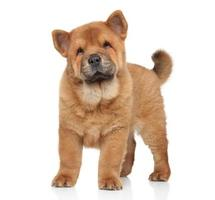 chow-chow puppy portret foto