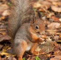 eekhoorn met een eikel foto