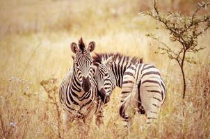 liefde in zebra's wereld, zuid-afrika foto