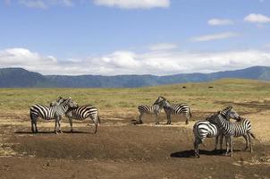zebra's in het wild foto