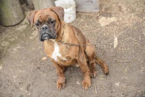 triest geketende hond foto