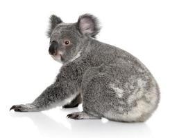 achteraanzicht van jonge koala, zitten en terugkijken foto