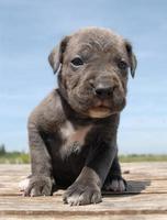 grijze puppy cane corso foto