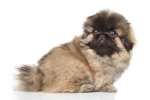 pekinees puppy op witte achtergrond foto