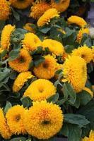 zonnebloem gele peuters of teddybeer foto