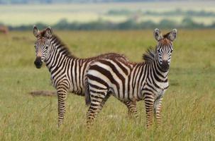 jonge zebra's in Kenia foto