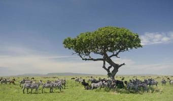 kudde zebra's in de serengeti foto