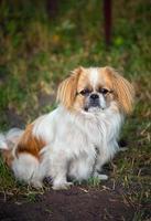pekingese hond foto