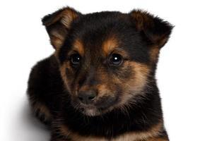 puppy gemengd ras herdershond met pooch foto