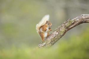 rode eekhoorn die rust neemt van het eten van zijn noot foto