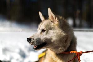 close-up Siberische husky in de zon foto