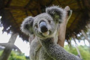 Australische koala foto