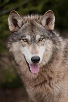 houtwolf (canis lupus) open mond foto