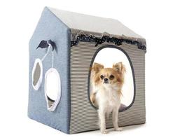 chihuahua binnenshuis hond foto