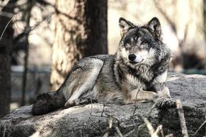 wolf foto