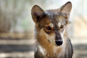 grijze wolf foto
