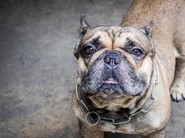 close-up van pug, op zoek naar de camera