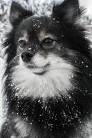 schattige pommeren speelt in de sneeuw foto