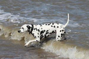 Dalmatische hond in de zee foto