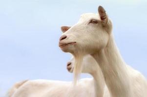 witte geiten foto