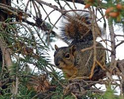 vos eekhoorn foto