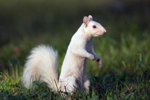witte eekhoorn in olney foto