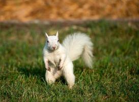witte eekhoorn in het gras foto