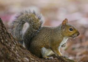 grijze eekhoorn (sciurus carolinensis) foto