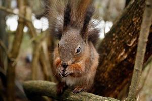 eekhoorn die noot eet foto