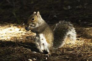 oostelijke grijze eekhoorn (sciurus carolinensis)