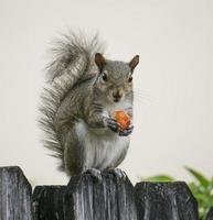 eekhoorn met rode bes foto