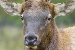 herintroductie van ontario elanden foto