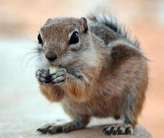 aardeekhoorn die zaad eet