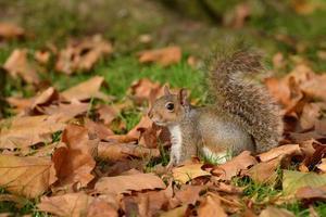 grijze eekhoorn, eekhoorn, sciurus carolinensis foto