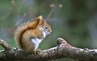 Amerikaanse rode eekhoorn met sneeuw in zijn staart