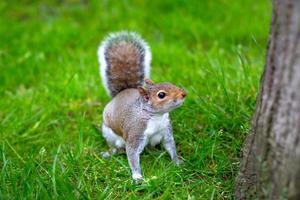 grijze eekhoorn (sciurus carolinensis) - voorraadbeeld